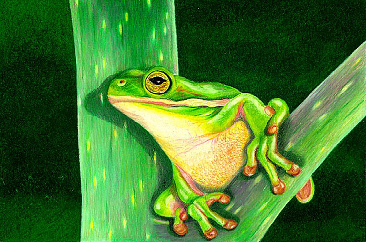 Colored pencil drawing of a tree frog